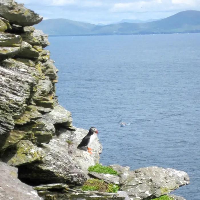 sehenswuerdigkeiten-portmagee-Iveragh-Halbinsel-county-kerry-reisetipps-irland-skellig-michael-puffin