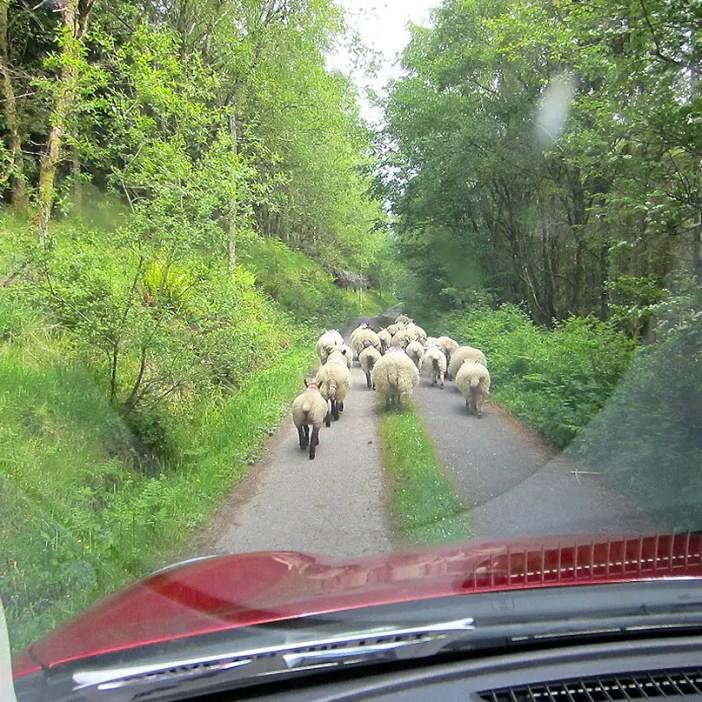 Rundreise-irland-reisetipps-irland-Ballaghbeama-Pass-schafe