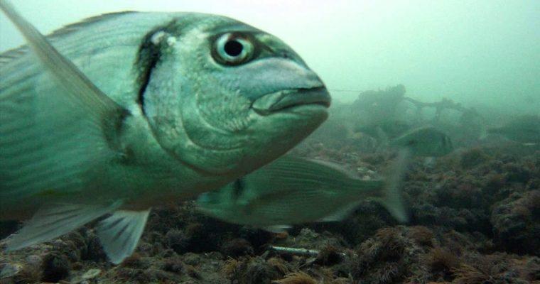 Un poisson fermenté de dix mille ans !