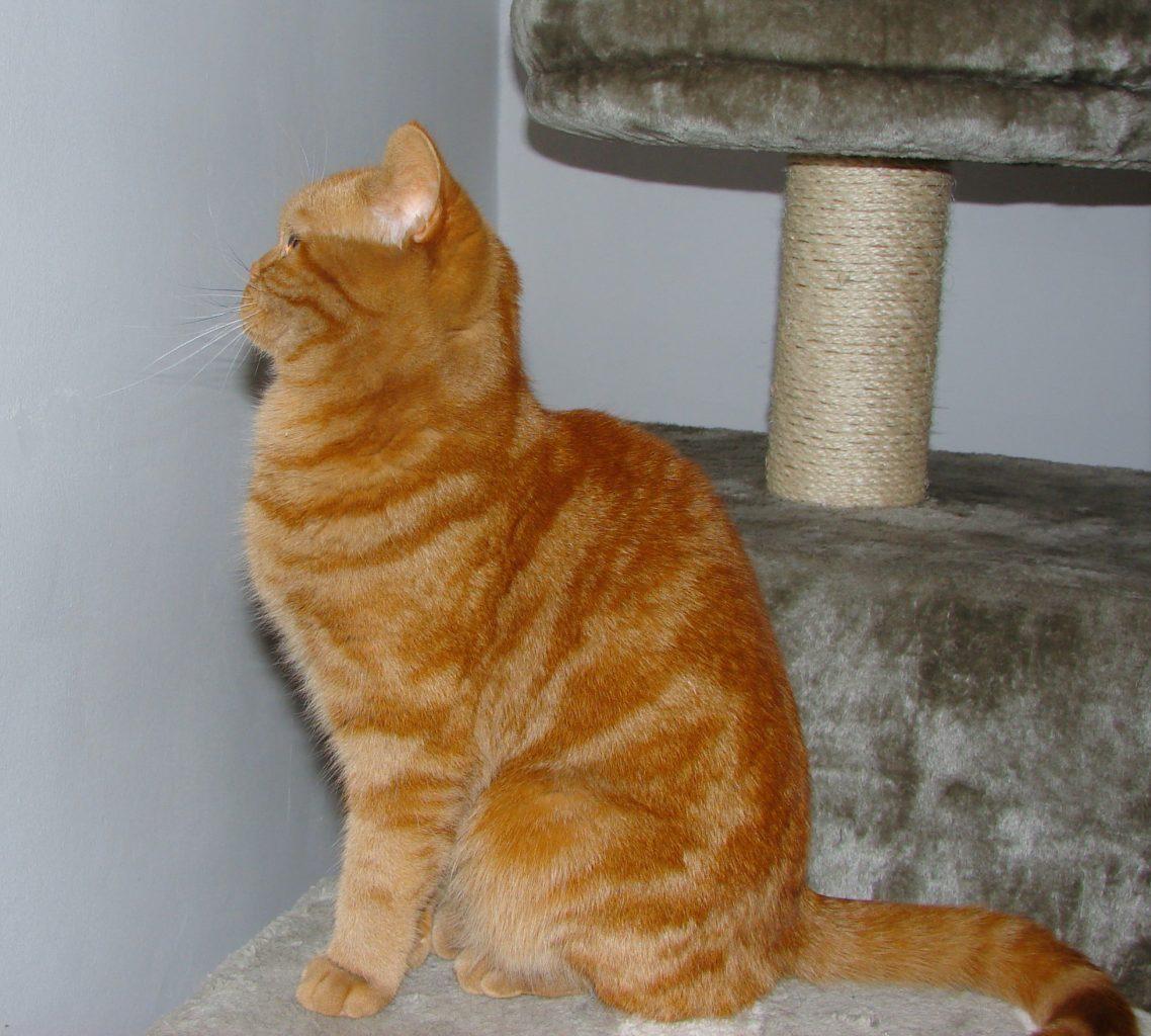 Kotka Brytyjska Ruda Afi Hodowla Kotów Brytyjskich Niebieskie