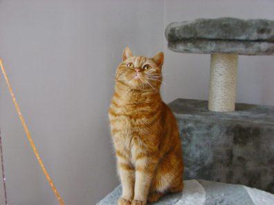 Afi koty brytyjskie niebieskie misie*pl