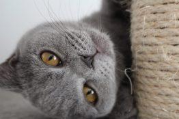 koty brytyjskie agniesia