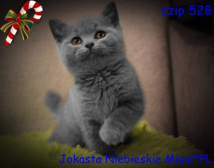Koty brytyjskie niebieskie- miot j