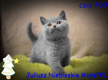 koty brytyjskie niebieskie-miot j