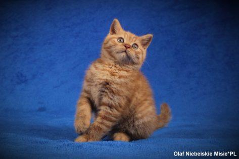 rude koty brytjskie
