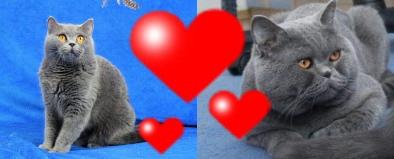 Koty Brytyjskie Niebieskie Krótkowłose Miot Y