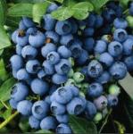 Blauwe Bes Vaccinium Corymbosum Jersey