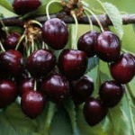 Kersenboom Prunus Avium Kordia