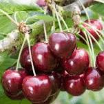 Kersenboom Prunus Avium Regina