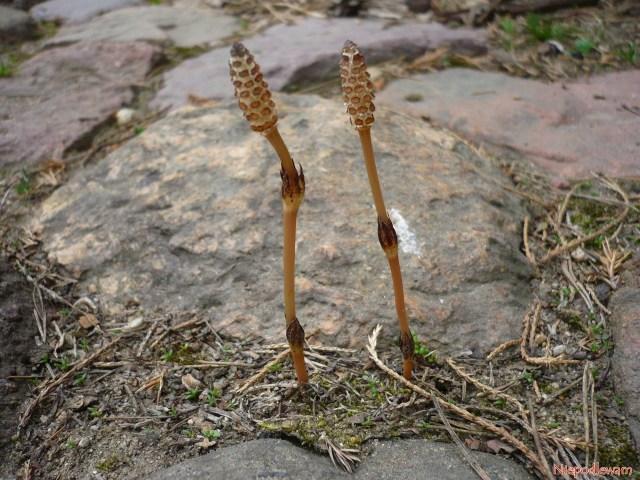 Pędy zarodnikowe skrzypu pojawiają się wkwietniu. Trzeba je szybko wyrywać, bo zarodniki szybko dojrzewają isię rozsiewają. Fot.Niepodlewam