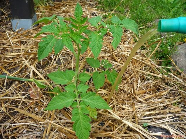 Nawożenie gnojówką roślinną - pomidor Malinowy bardzo dobrze nanich rośnie. Fot.Niepodlewam