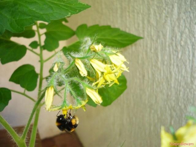 Kwiaty Malinowego Kapturka najczęściej zapylają trzmiele. Fot.Niepodlewam