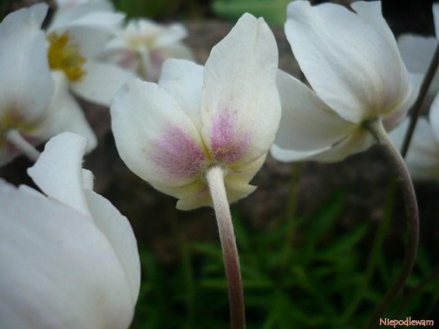 płatki kwiatów zawilców są białe, aleodspodu przebarwiają się nadelikatny róż (wróżnym stopniu). Fot.Niepodlewam