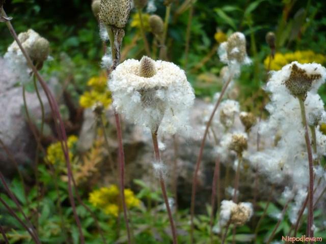 Przypominające bawełniany puch nasiona zawilców wielkokwiatowych są niezwykle dekoracyjne. Fot.Niepodlewam