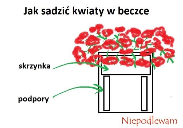 Schemat sadzenia kwiatów, np.pelargonii, wbeczce. Rys. Niepodlewam