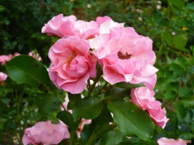 Róża odmiany Alicja ma ładne, ciemnozielone liście. Fot.Niepodlewam