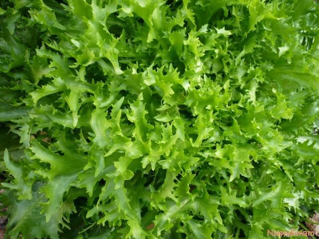 Sałata rośnie lepiej, jeśli obok ma dobrze dobrane towarzystwo innych warzyw lub ziół. Fot.Niepodlewam