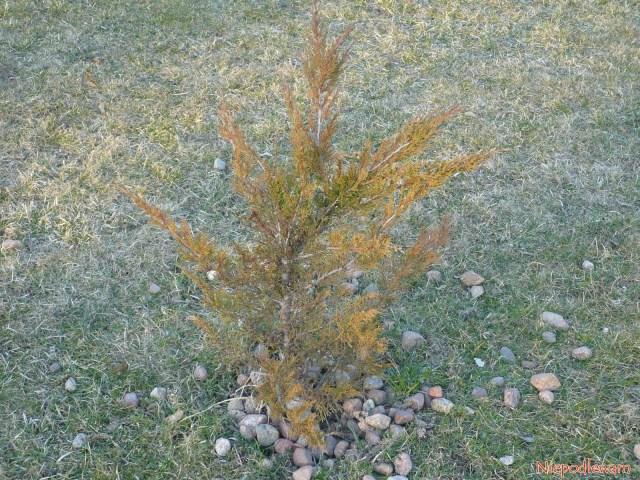Zimą jałowiec Tamariscifolia przebarwia się narudy kolor. Tego efektu niema, gdykrzew rośnie wkrajach, gdzie niema mrozów. Fot.Niepodlewam