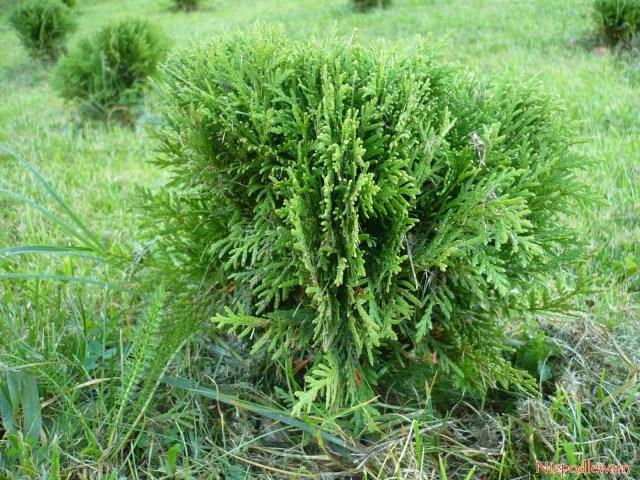 Żywotnik zachodni (Thuja occidentalis) odmiana Danica toiglak karłowy, wkształcie kuli. Fot.Niepodlewam
