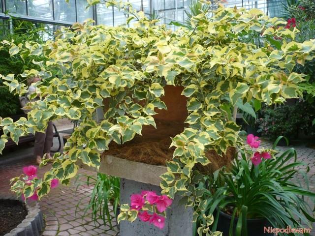 Bugenwilla oliściach pstrych - tookaz rosnący wOgrodzie Botanicznym wPowsinie. Fot.