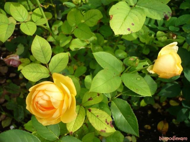 Róża Graham Thomas. Fot Niepodlewam