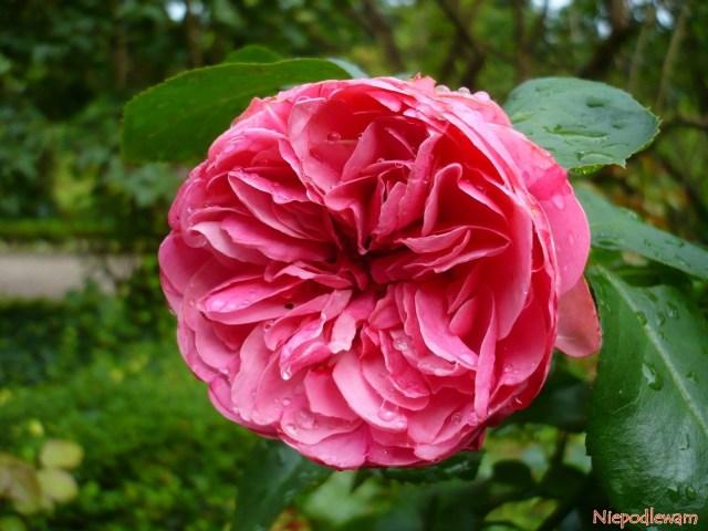 Róża Leonardo da Vinci. Fot.Niepodlewam