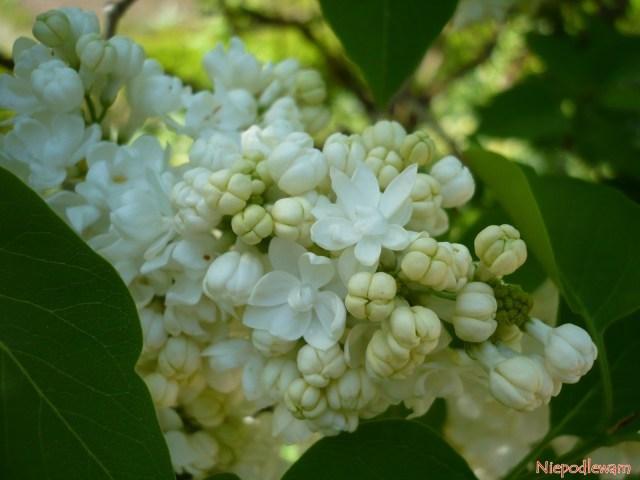 Pączki kwiatowe lilaka Madame Lemoine mają charakterystyczny jasnożółty (kremowy) kolor. Porozwinięciu stają się białe. Fot.Niepodlewam