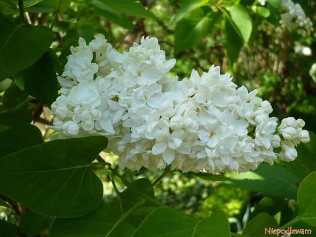 Lilak pospolity Madame Lemoine (Syringa vulgaris) został wyhodowany w1922 roku. Ma białe, podwójne kwiaty, które bardzo pięknie imocno pachną. Fot.Niepodlewam
