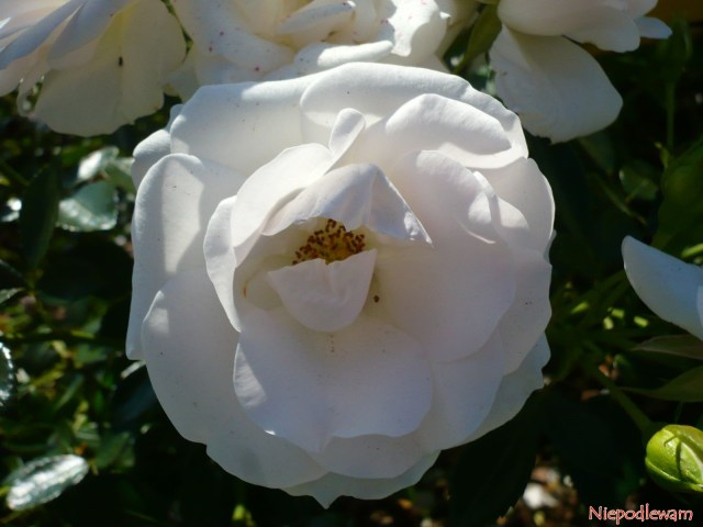 roza niemiecka aspirin rose