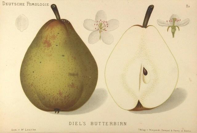 "Grusza Bera Diela – rysunek zksiążki ""Deutsche Pomologie"" Wilhelma Lauche z1882-1883, zezborów biblioteki Wageningen UR."