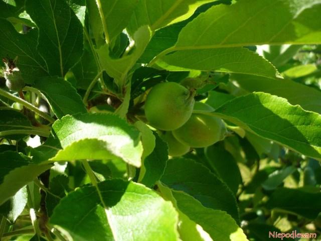 Jabłka Karja szybko rosną idojrzewają. Takwyglądają napoczątku czerwca (VI). Fot.Niepodlewam