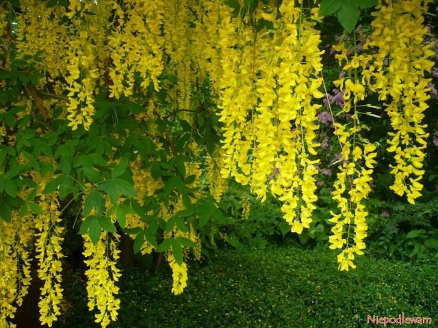 Złotokap Waterera Wossii (Leburnum watereri) ma żółte kwiatostany odługości około 50 cm. Fot.Niepodlewam