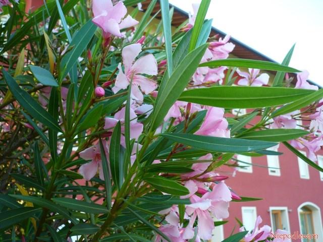 Oleander pospolity (Nerium oleander) często jest dekoracją drzwi dodomu. Pięknie kwitnie całe lato. Fot.Niepodlewam
