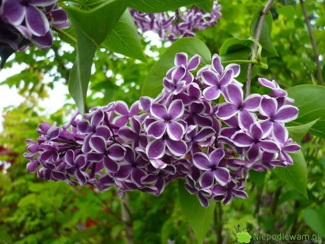 Lilak pospolity Sensation tostara odmiana z1938 roku. Ma biało-fioletowe, pojedyncze kwiaty, które mocno pachną. Fot.Niepodlewam