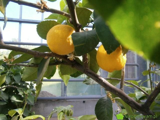 Cytryna zwyczajna bardzo dobrze owocuje wdonicach, zwłaszcza wdużych. Nazdjęciu jest odmiana Villafranca. Fot.Niepodlewam