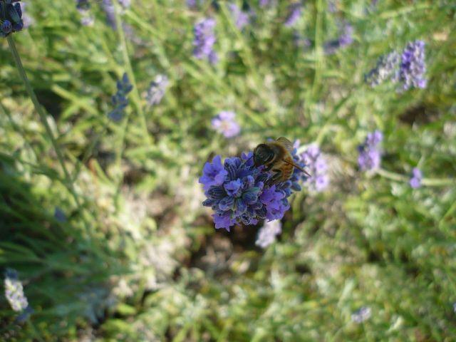 Lawenda zwabia pszczoły, trzmiele, motyle. Odwiedza ją także motyl fruczak gołąbek  wyglądający jak koliber.