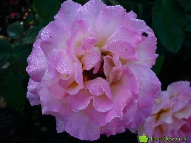 Róża Chicago Peace jest różowa zżółtymi cieniowaniami wewnątrz kwiatów. Delikatnie pachnie. Fot.Niepodlewam
