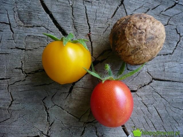 Pomidory koktajlowe: Aztek (żółty) iMalinowy Kapturek (czerwony). Fot.Niepodlewam