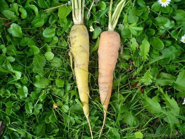 Marchew posiana wlistopadzie (XI) powinna wzejść dopiero wiosną. Dlatego gdylistopad jest ciepły, siew warzyw, wtym marchwi, trzeba opóźnić nawet dogrudnia (XII). Fot.Niepodlewam