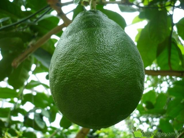 Cytryna skierniewicka (ponderoza) ma duże owoce. Mogą ważyć nawet 1 kg. Fot.Niepodlewam