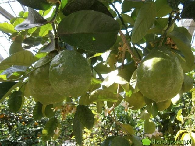 Cytryny skierniewickie dobrze plonują wdonicach. Owoce rzadko dojrzewają tak, bymiały żółtą skórkę. Fot.Niepodlewam
