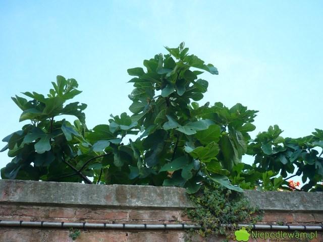 W gruncie figi jadalne rosną izimują najlepiej, jeśli są posadzone przy murowanych ogrodzeniach. Fot.Niepodlewam