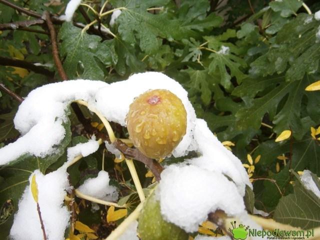 Figa jadalna owocuje aż dopierwszych mrozów. Liście opadają nazimę. Fot.Niepodlewam