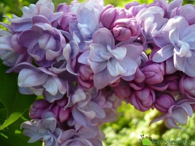Kwiaty bzu Jules Simon są potrójne. Pięknie, średnio intensywnie pachną. Fot.Niepodlewam