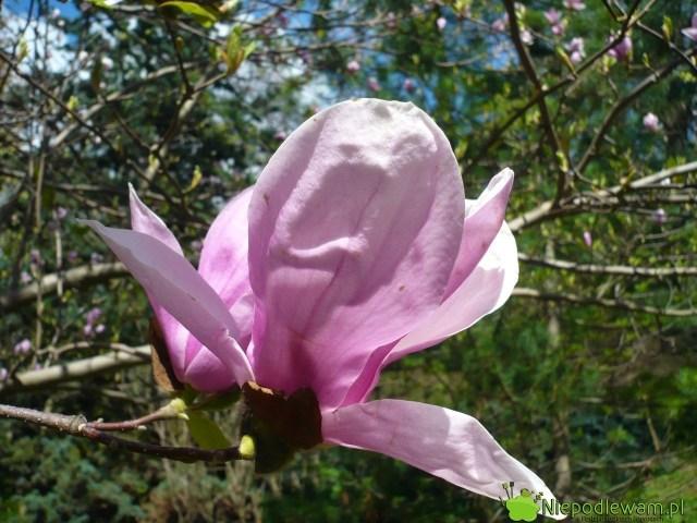 Kwiaty magnolii Rustica Rubra mają charakterystyczny, pękaty kształt. Fot.Niepodlewam