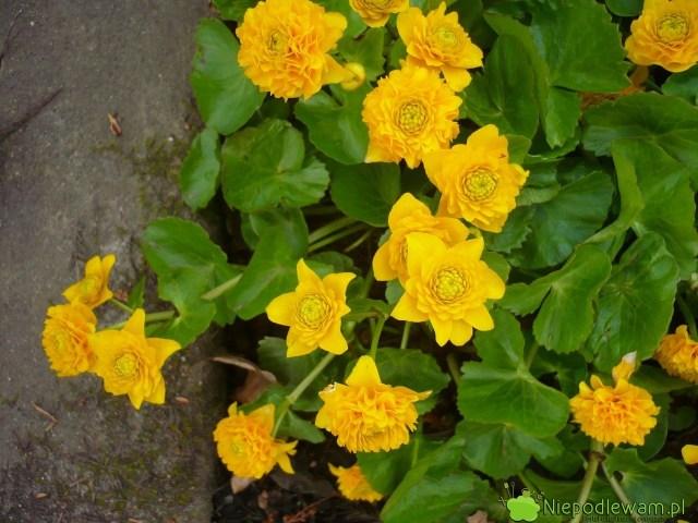 Kaczeniec najczęściej ma kwiaty żółte, pojedyncze. Nazdjęciu jest odmiana pełne Multiplex. Fot.Niepodlewam