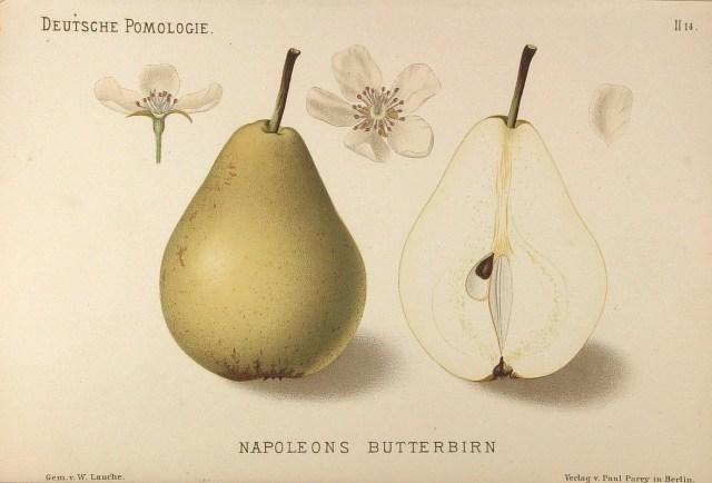 """Grusza Napoleonka – rysunek zksiążki """"Deutsche Pomologie"""" Wilhelma Lauche z1882-1883, zezborów biblioteki Wageningen UR. WPolsce jest znana także jako Bera Napoleona, Bre Napoleona, Napoleńska, Maślaczka Napoleona, Masłówka Napoleona."""