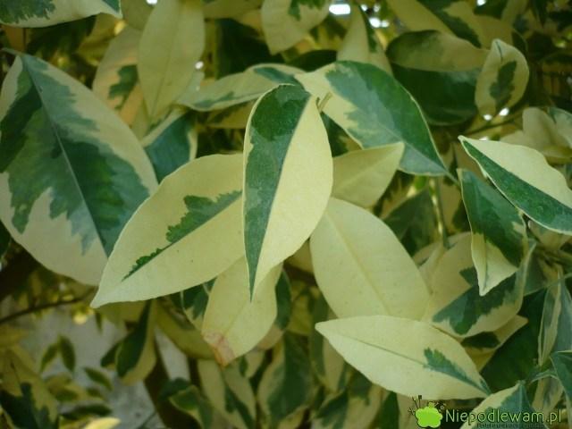Pstre liście torzadkość wśród mandarynek. Niesą objawem choroby. Nazdjęciu jest odmiana Variegata. Fot.Niepodlewam