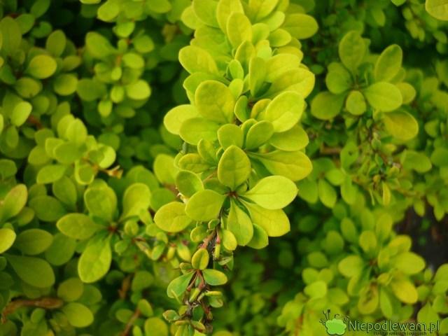 Młode liście berberysów Sunsation są bardziej żółte niż starsze. Fot.Niepodlewam