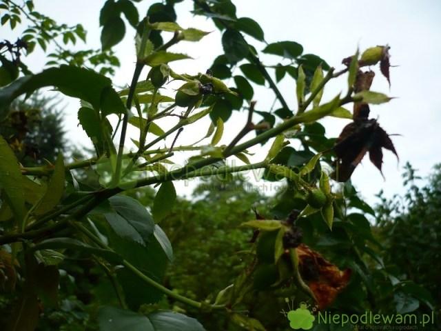 Owoce róży American Pillar. Fot.Niepodlewam